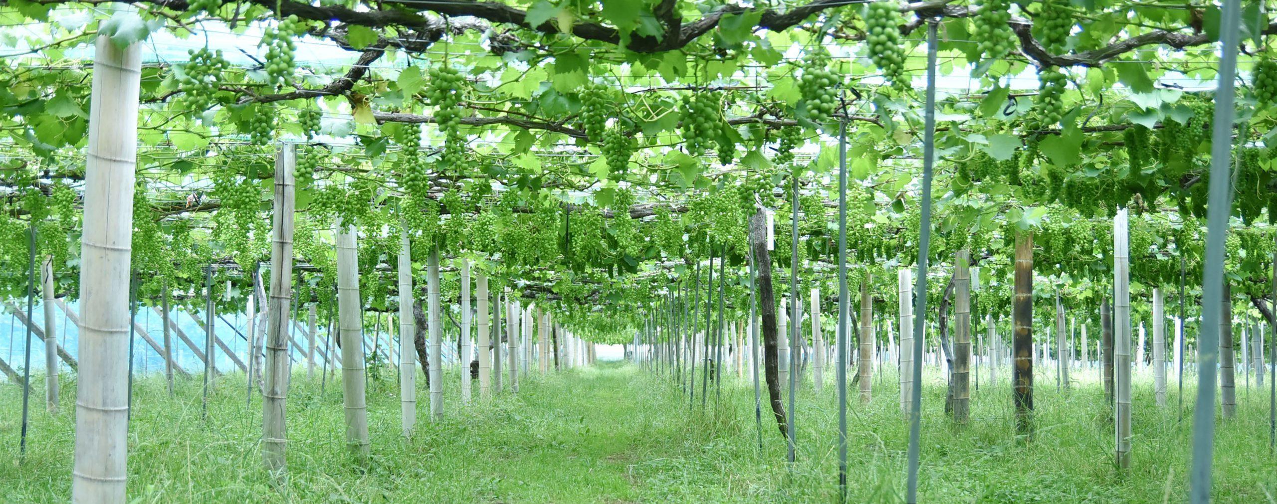 買いにいける葡萄農園。